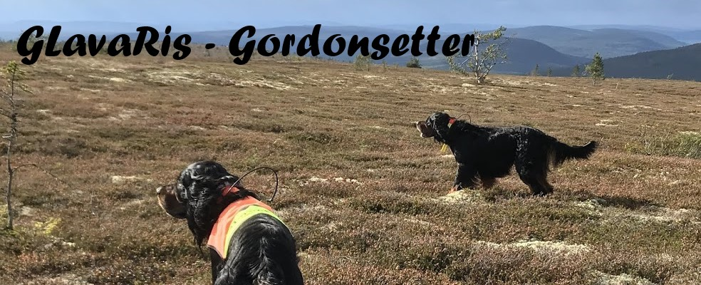 GLavaRis - uppfödare av Gordonsetter