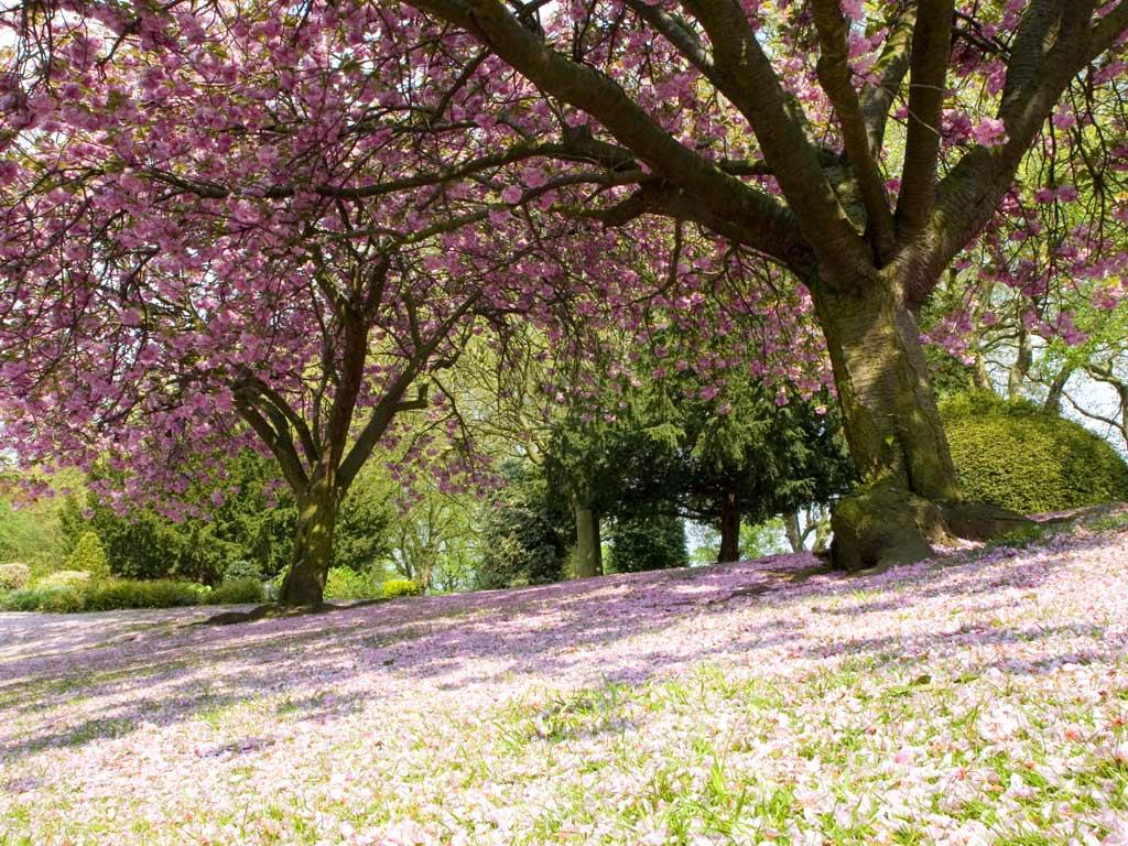 Sakura Blossom Wallpaper  Nature Wallpaper