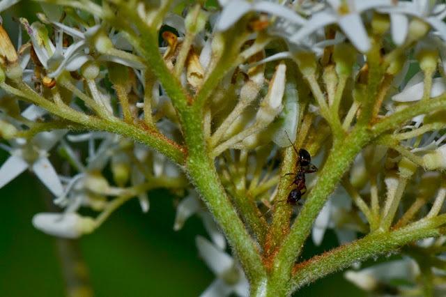 Ant guarding Lycaenid caterpillar