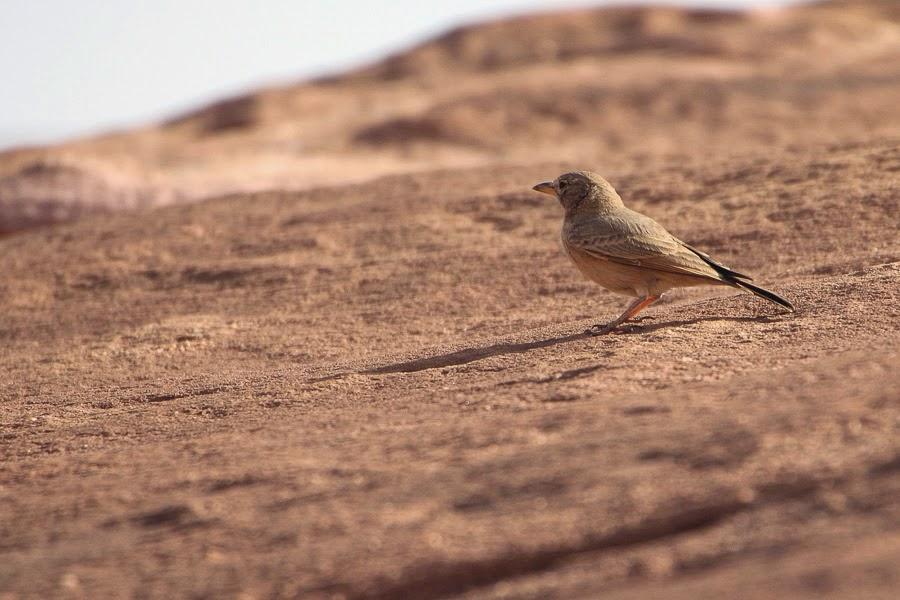 Desert Lark deserti - Tabuk