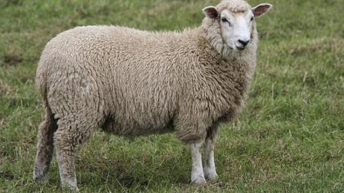 Stres Akibat Nilai UTS, Mahasiswa Ini Bercinta dengan Domba Betina