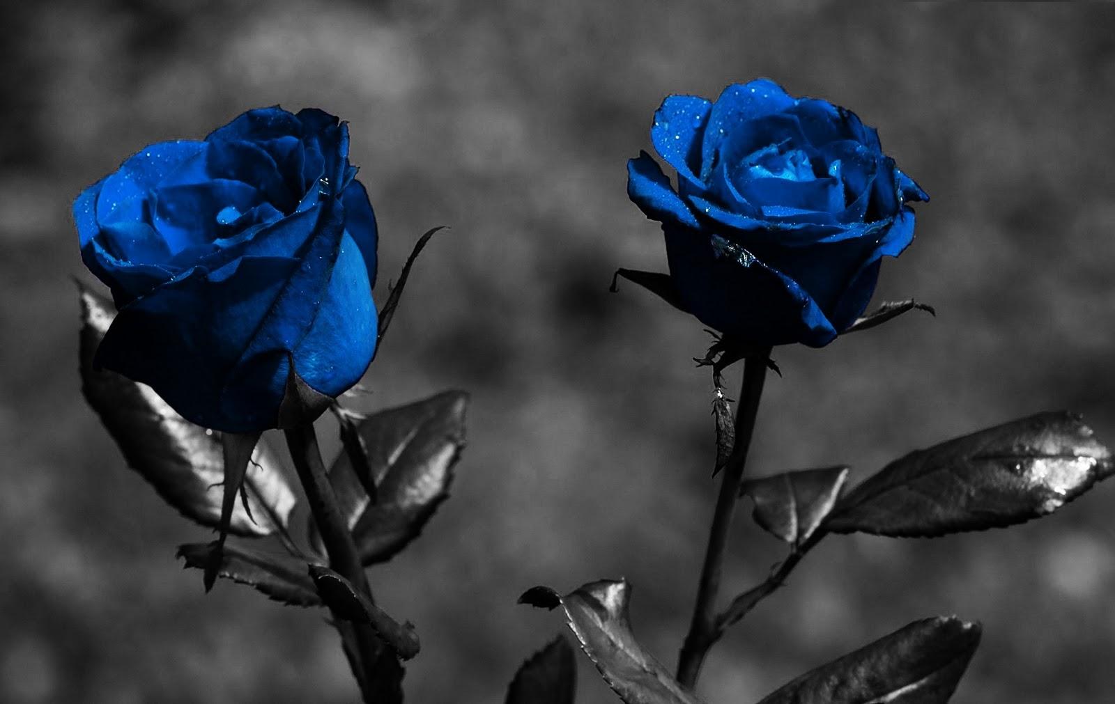 blue roses wallpaper rose wallpapers