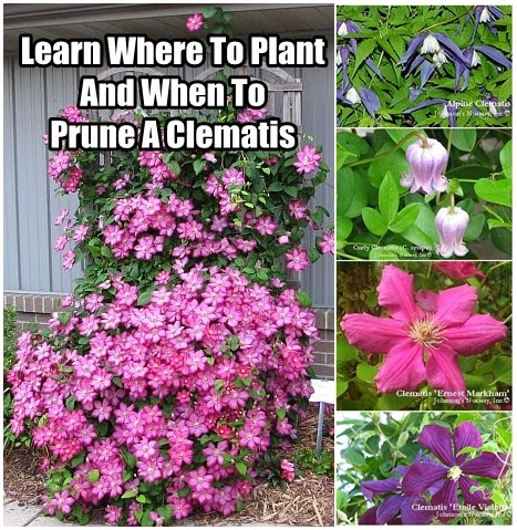 Learn Where To Plant And When To Prune A Clematis Diy