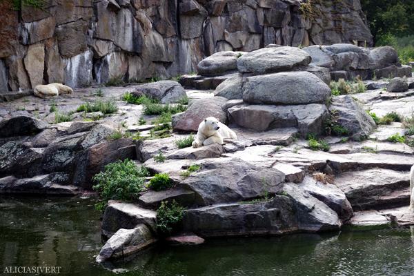 aliciasivert, alicia sivertsson, alicia sivert, berlin zoo, djurpark, djurhållning, instängda djur, djur i bur, cages, animal, animals, cage, polar bear, bears, björnar, isbjörnar, björn, isbjön