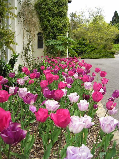 Tina's Allsorts, Tulips - Jermyns House, hillier Gardens