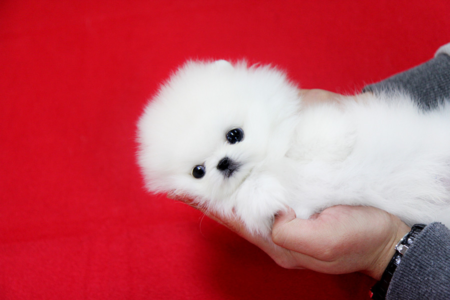 White Teacup Pomeranian Puppies Puppy. teacup pomeranian