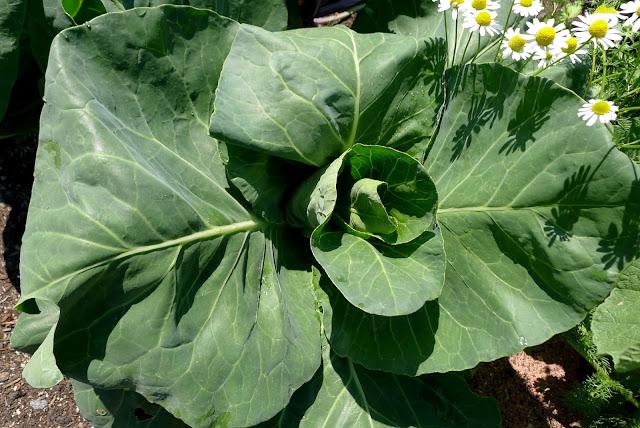 Caraflex Cabbage, Brassica oleracea var. capitata