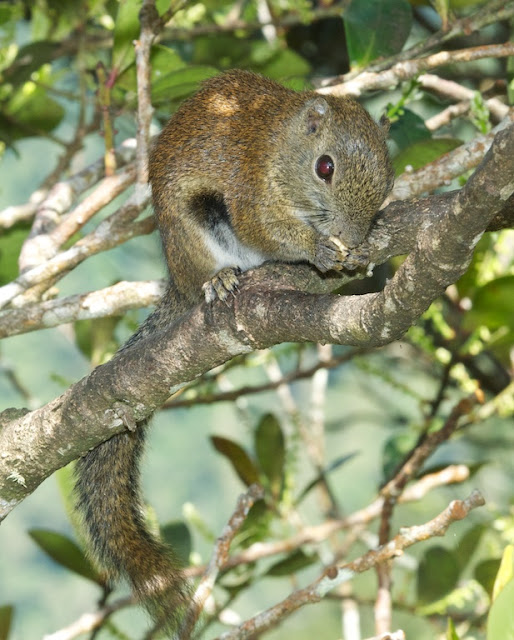 Bornean Black-banded Squirrel (Callosciurus orestes)