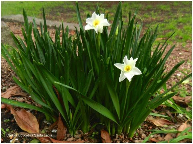 Narcisos en flor - Chacra Educativa Santa Lucía
