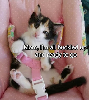 lolcat buckled up
