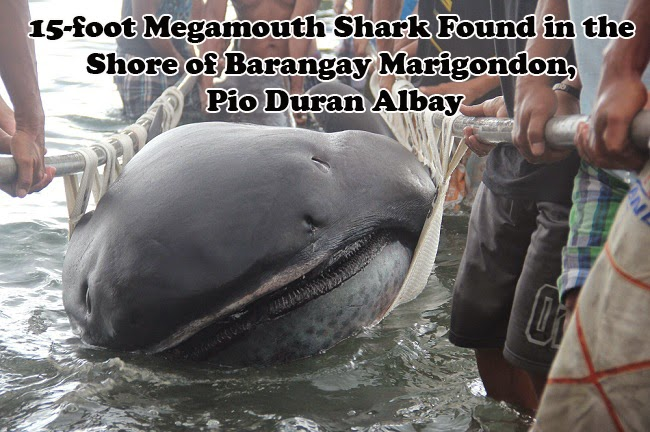 15-foot Megamouth Shark Found in the Shore of Barangay Marigondon, Pio Duran Albay