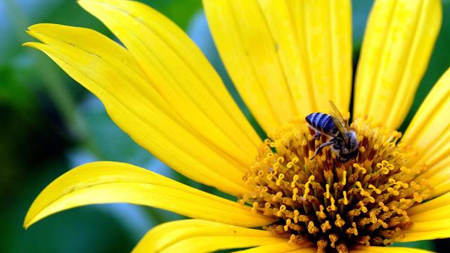 Macro Photo Yellow Flower Bee