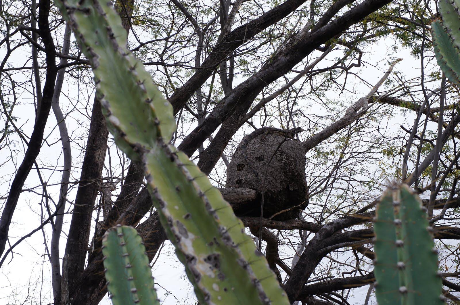 Camaleão comendo larvas do cupim
