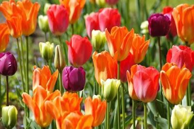 hoa tulip 11