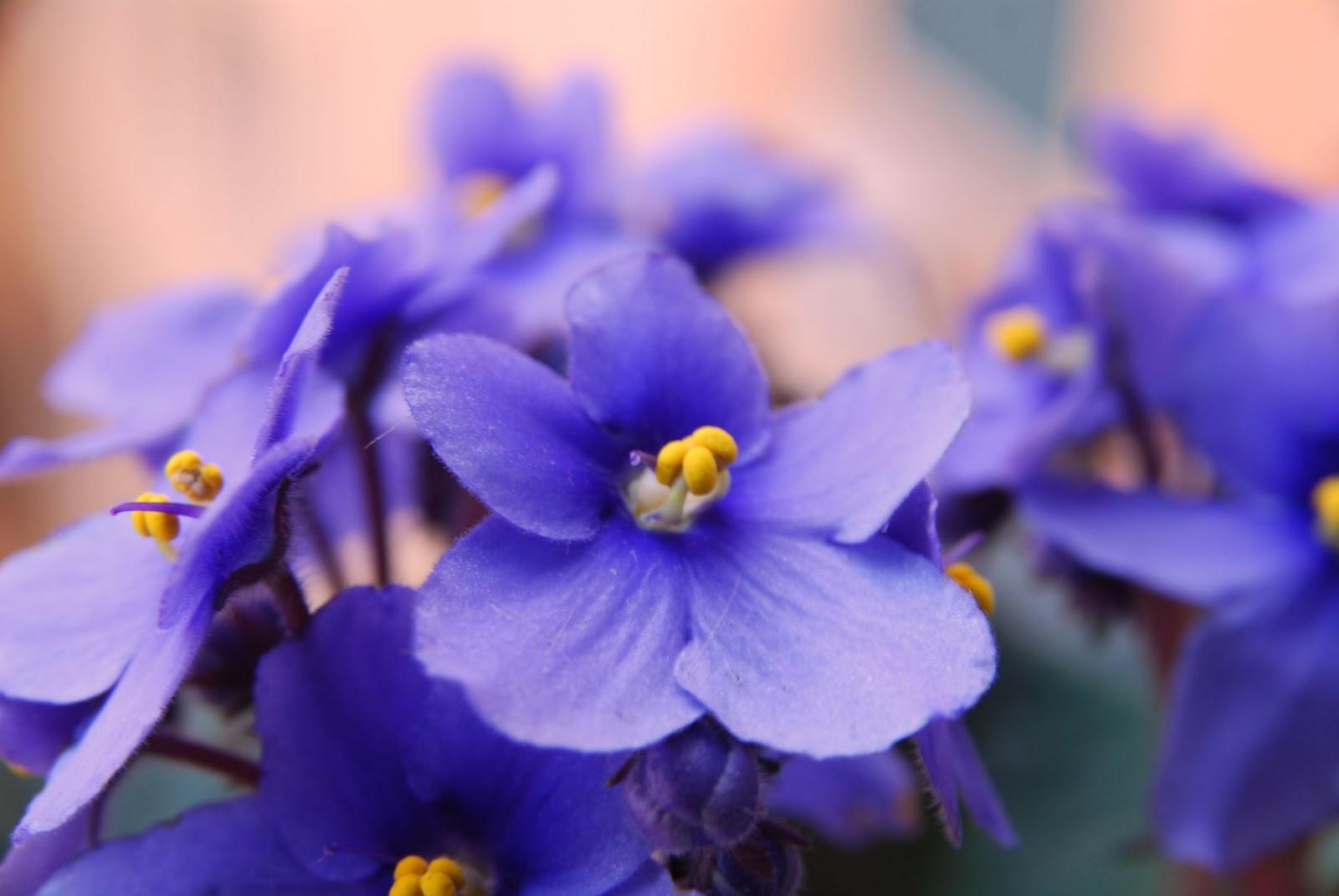 Violette möhren