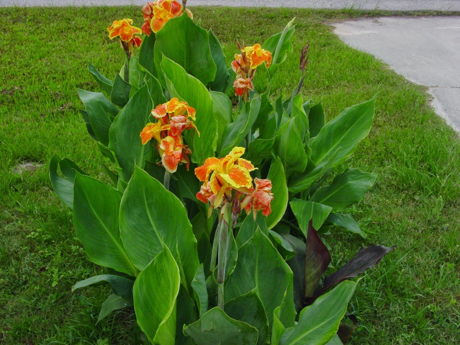 University of floridaifas charlotte county extension canna i grow it perhaps one of the most popular and successful perennial flowers adapted to our hot and wet florida climate are the cannas they not only have large flowers mightylinksfo