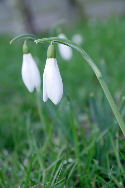 snow drops