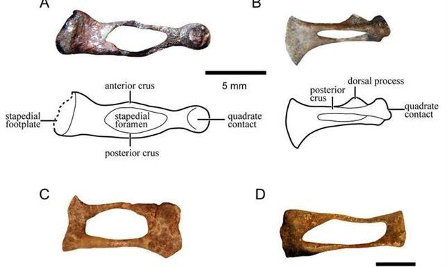 FÓSIL: Primer análisis detallado y exhaustivo sobre el hueso del ...