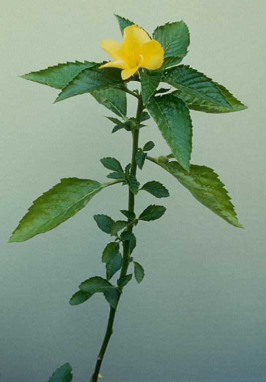 ingin tahu 9 tumbuhan bahan herbal yang merangsang wanita