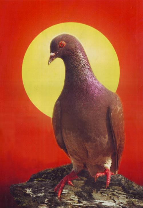 merpati balap adalah hasil pembiakan dari burung merpati yang telah
