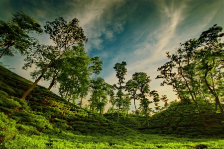 Beautiful Bangladesh Tea Garden Sylhet