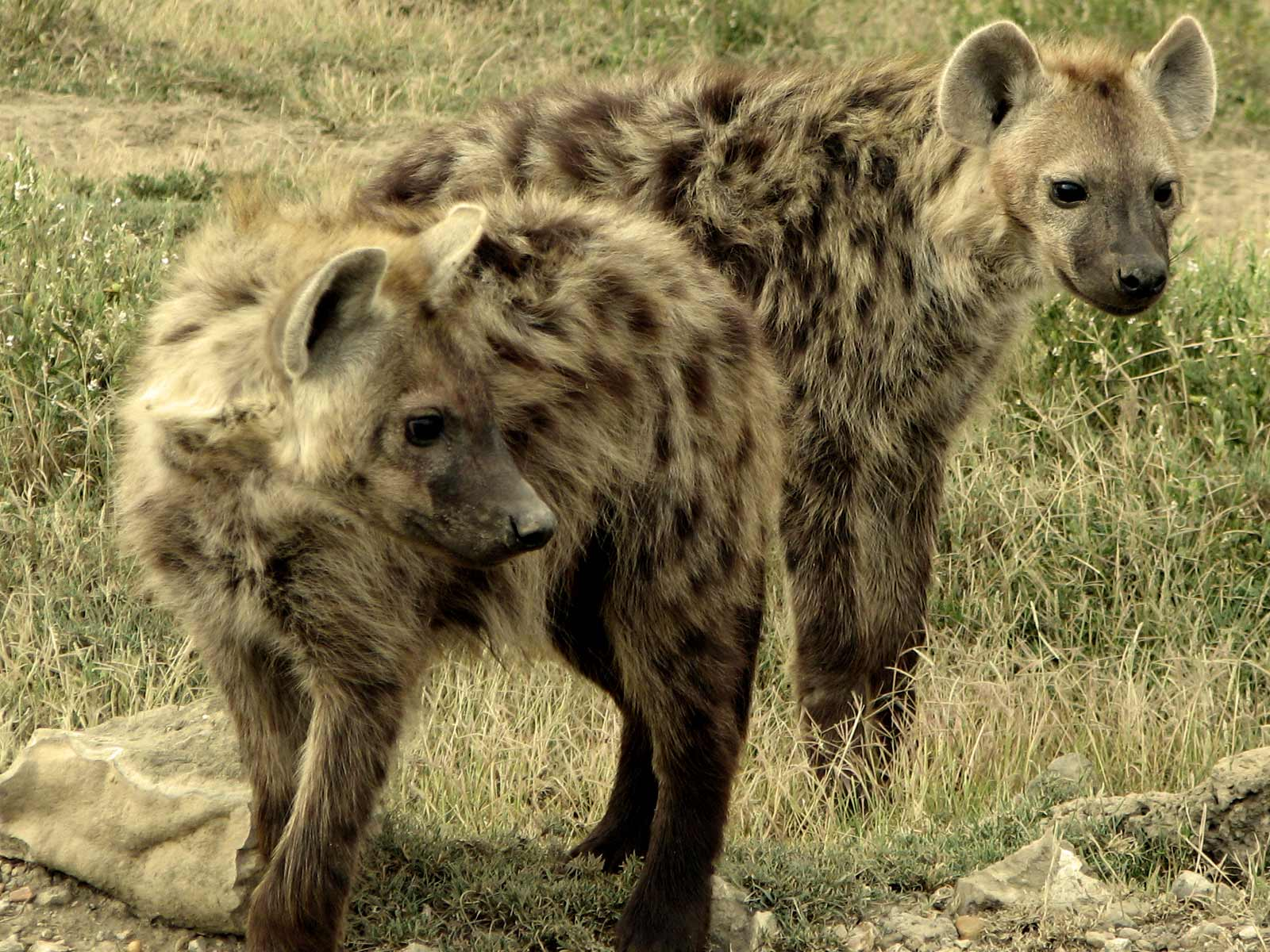Beautiful africa safari animals hyena wildlife of africa kenya nigeria