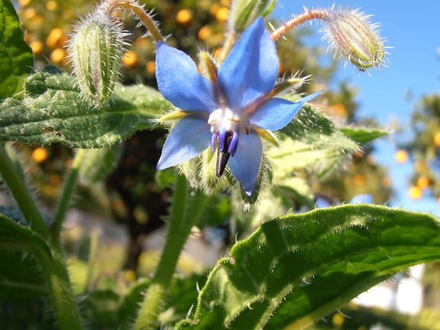 Flores comestibles plantas riomoros for Ver plantas ornamentales
