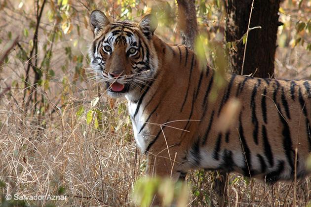 http://www.diariosdeunfotografodeviajes.com/2009/07/la-caza-del-tigre.html