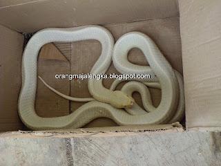 Ular kobra putih ditemukan di majalengka