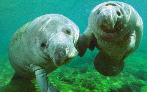 Manatees picture