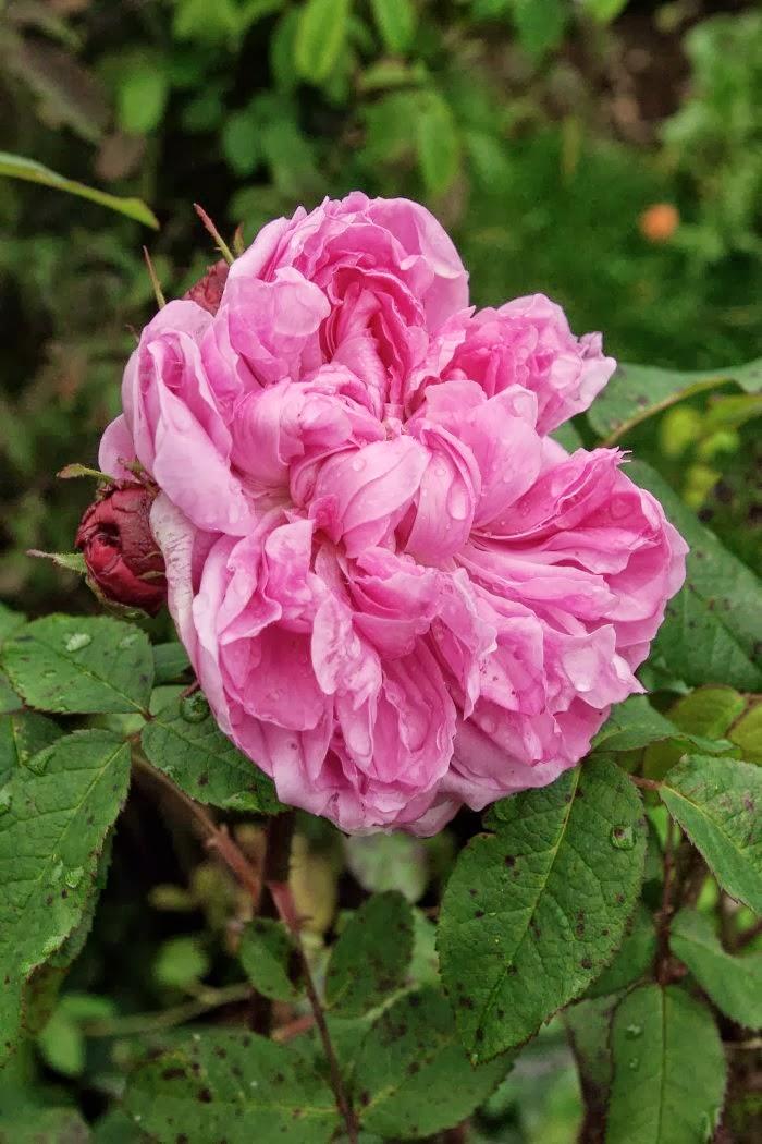 rudolfs park historischer rosen herbst nachtfrost rosenbl ten. Black Bedroom Furniture Sets. Home Design Ideas
