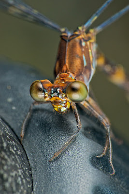 close up of Damselfly