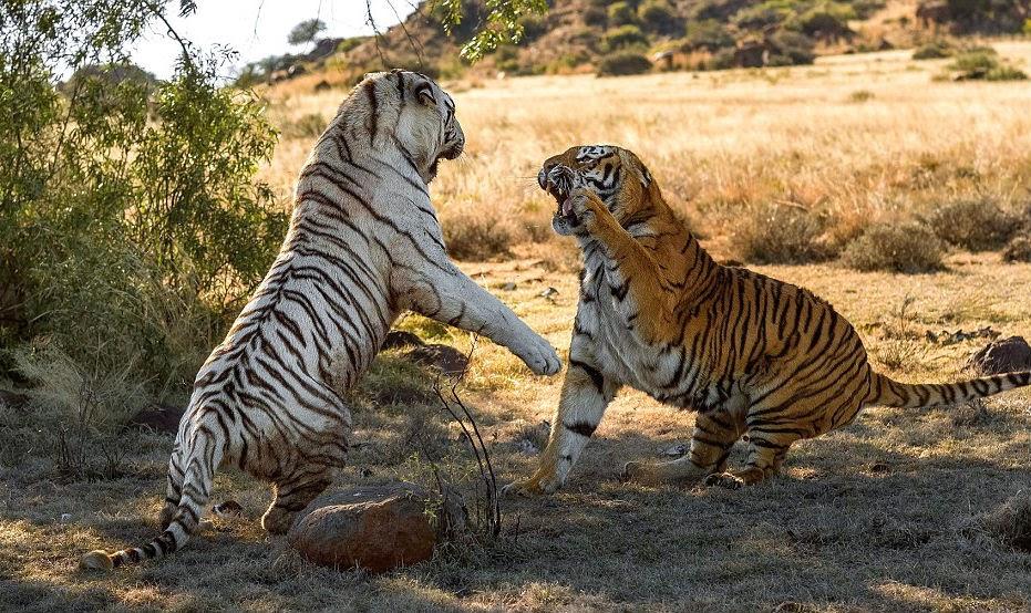 pertarungan harimau kucing besar seperti harimau bukanlah binatang ...