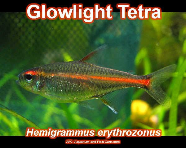 aquarium and fish care glowlight tetra