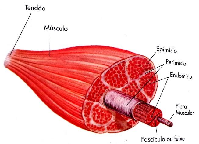Lujoso Anatomía De Una Fibra Muscular Imágenes - Anatomía de Las ...