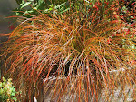 Whats New: Orange Sedge