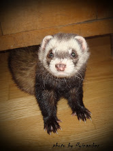 Roko the ferret