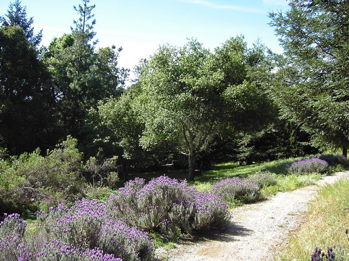 The Lavender Path