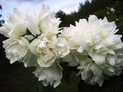 цветы однолетники фото название