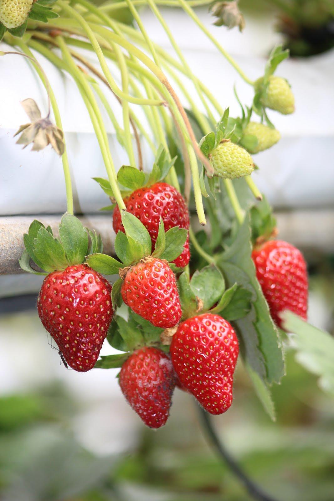 Kenangan buah strawberi segar masih dalam ingatan. Kita tepek buat sementara..hihi