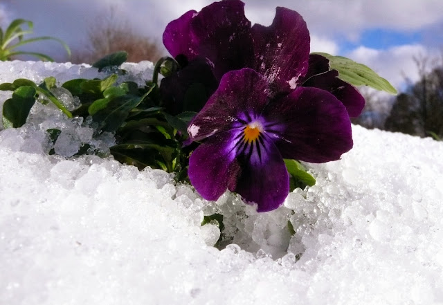 Flower peeking out from under snow, Dublin, Ireland