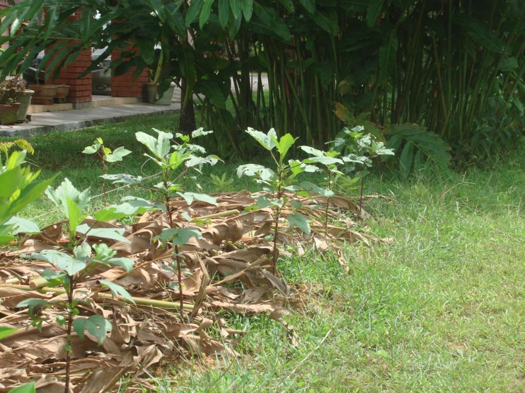 My little vegetable garden mulching with kantan leaves for Mulch for vegetable garden