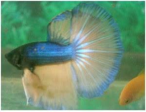 Budidaya Ikan Cupang Yang Memikat