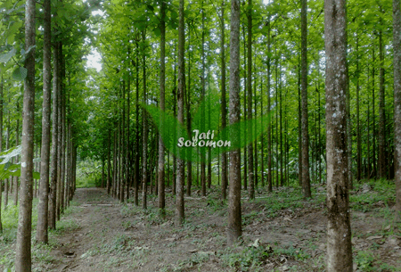 Jati_Kultur_Solomon