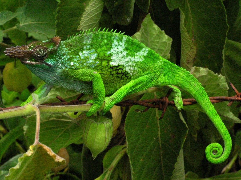 Chameleon Info Facts And New Photos The Wildlife