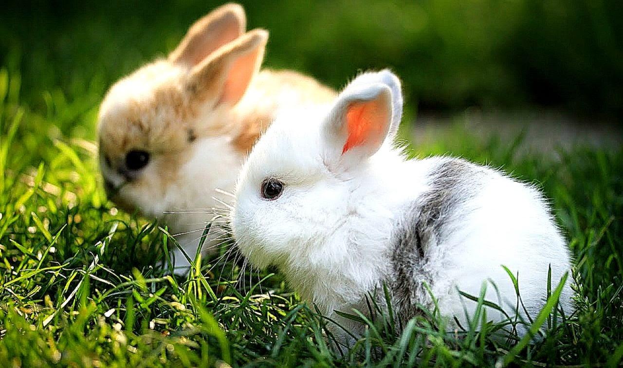 Cute Rabbits Download Cute Rabbit W...