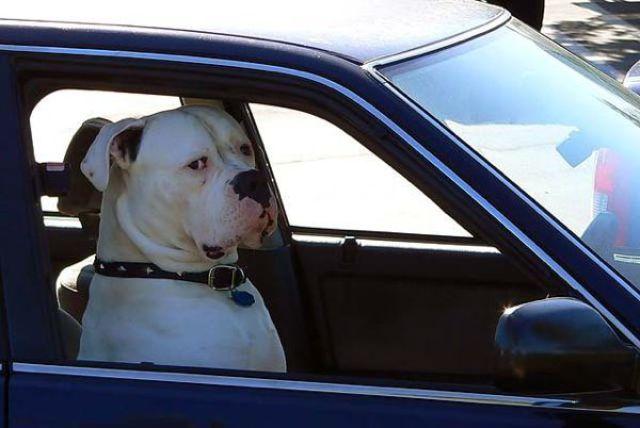 Cachorro dirigindo carro