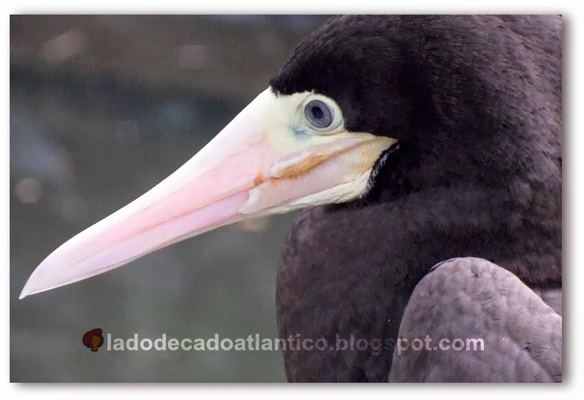 Detalhe da cabeça da ave atobá fotografada no Orquidário Municipal de Santos