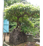 Cay Canh Dep, Cay Canh Dep Phượng Ngũ Long Đàn H1