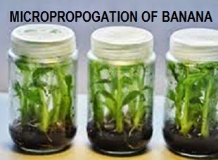 application of plant tissue culture in agriculture pdf